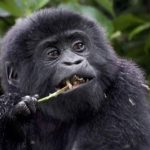 Gorilla Trekking in Bwindi National Park, Is It Worth the Price?